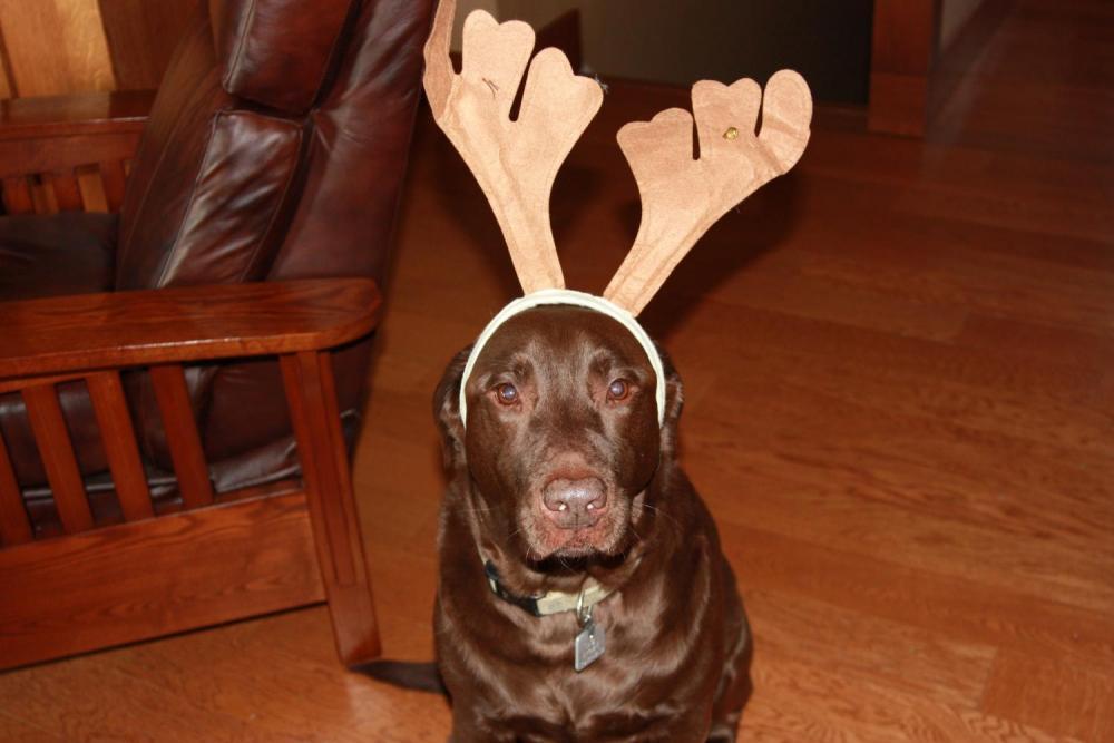 Charlie with Reindeer antlers.jpg